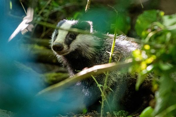 Badger cub by falsecast