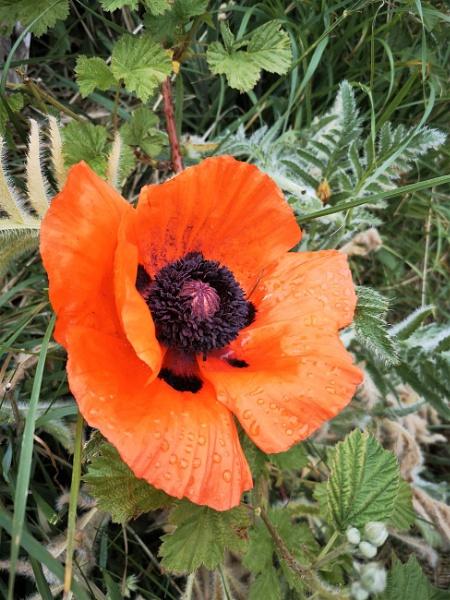 #Poppy by davyskid