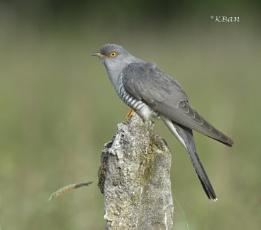 Cuckoo.....Male