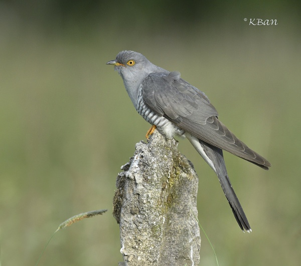 Cuckoo.....Male by KBan