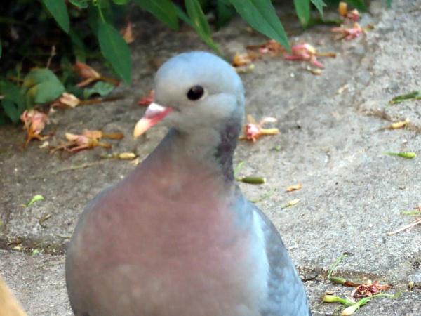Stock Dove by BlueJonnyp