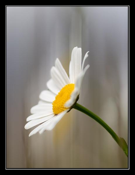 Daisy by andystark