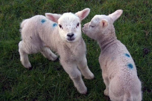 lambs by Bert47