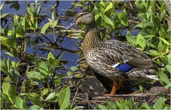 Three Little Ducks Went Swimming One Day by AnnetteK