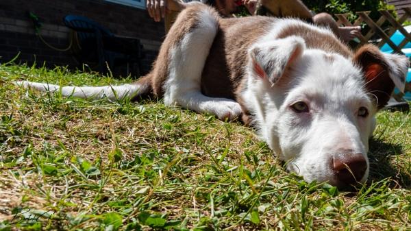 Border Collie puppy by barthez