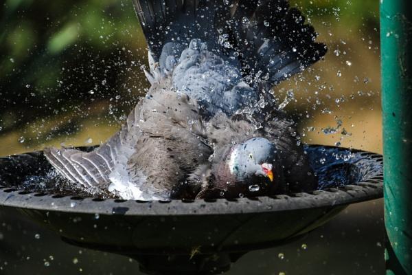 Wood Pigeon by windhoverjack