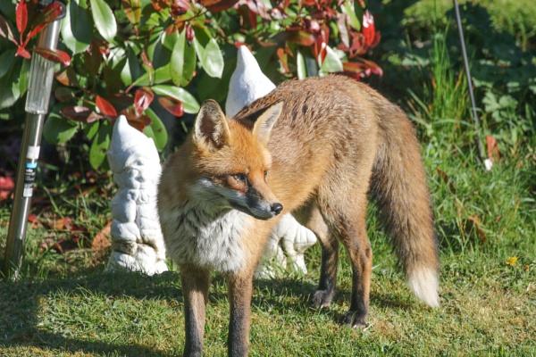 RED FOX by windhoverjack