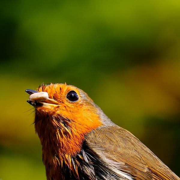 Robin with Seed by photographerjoe