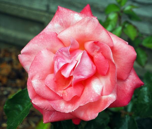 rose by derekd