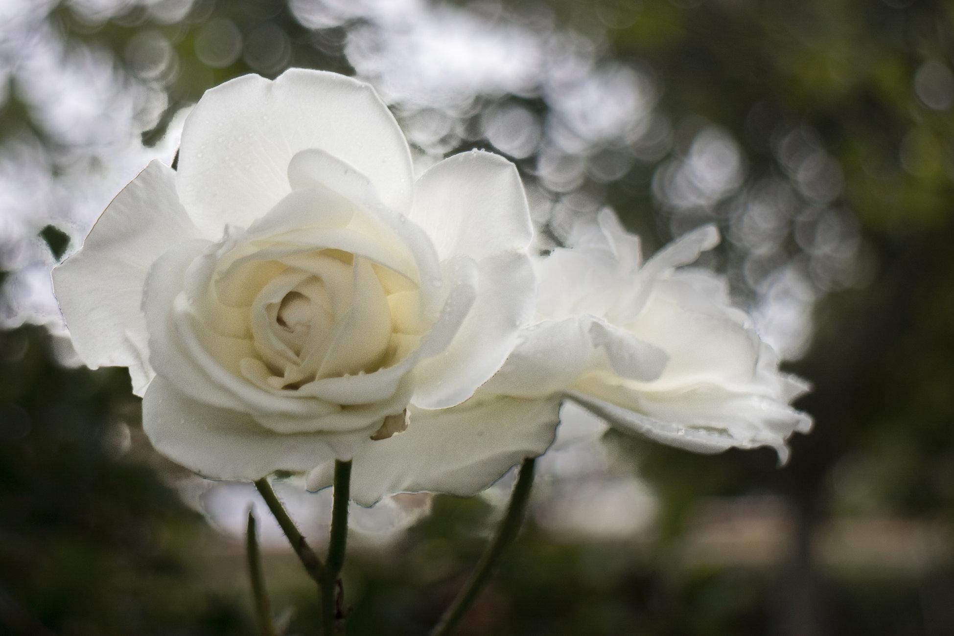 White rose in the rain