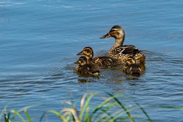 Duck Family by terra