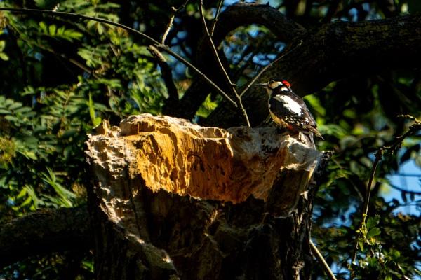 Woodpecker by terra