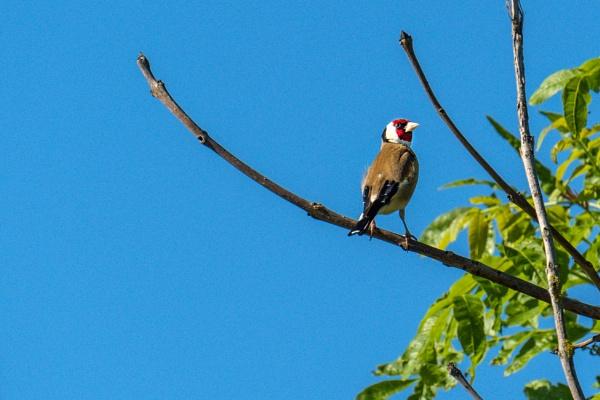 Goldfinch by terra