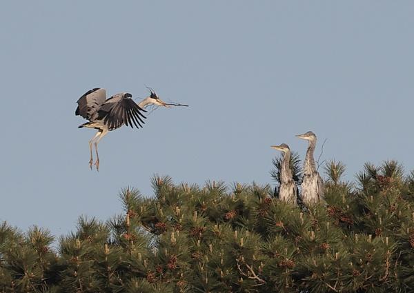 Nesting Herons by NeilSchofield