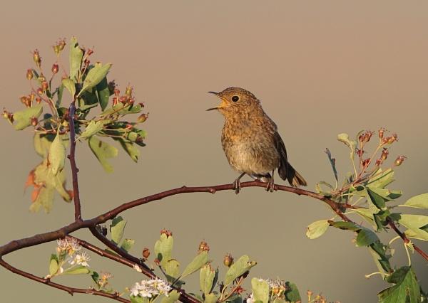 Juvenile Robin by NeilSchofield
