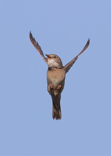 Whitethroat in Flight by NeilSchofield