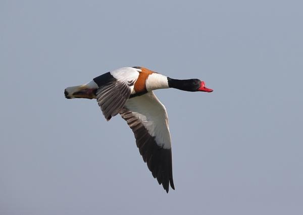 Shelduck In Flight by NeilSchofield