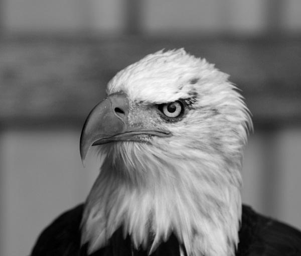 Bald Eagle by elmer1