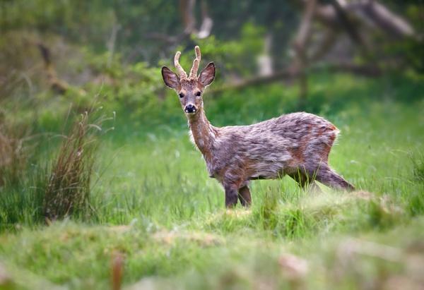 Roe Deer Buck by BobA