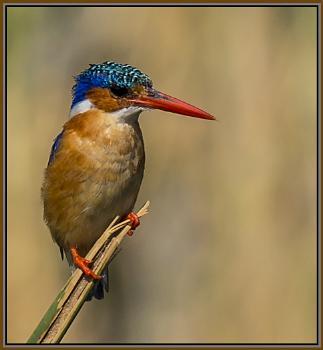 Malakite Kingfisher close up