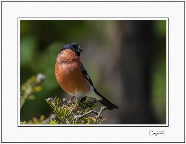 Bullfinch by craggwildlifephotography
