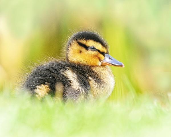 Mallard duckling 2 by chalkhillblue