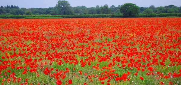 Field of Red by TonyDy