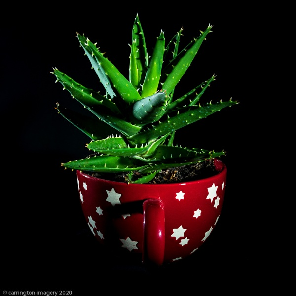Cactus Tiger Tooth Aloe Vera by CImagery