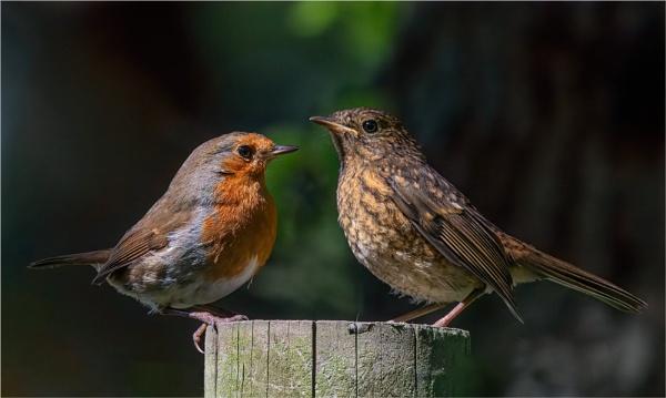 Robins. by mjparmy