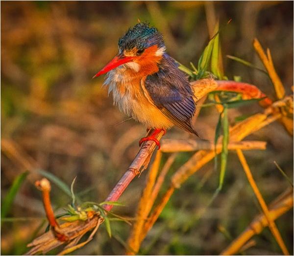 malachite kingfisher by mjparmy