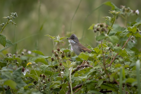 Common Whitethroat (Sylvia communis) perched on a bramble with n by Phil_Bird