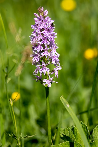 A Common Spotted Orchid, (Dactylorhiza fuchsii) flower spike nea by Phil_Bird