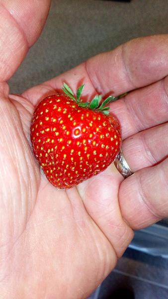 Best Strawberry so far by YoungGrandad