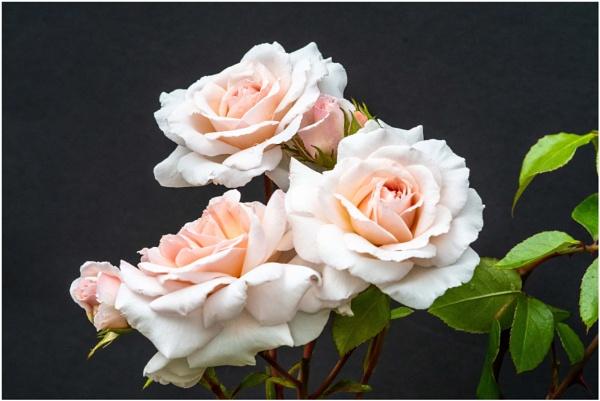 Roses by jacks59