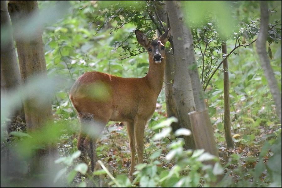 Roe deer in the trees