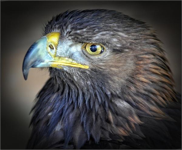 Golden Eagle (3) by PhilT2