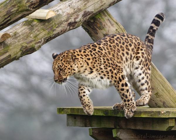 Amur Leopard by Alan_Baseley