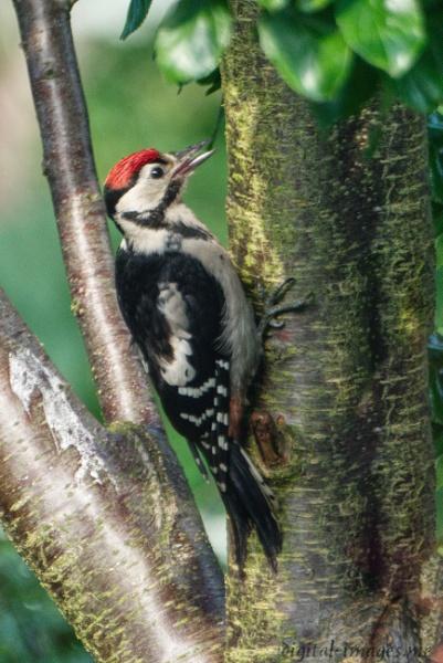 Juvenile Woodpecker by Alan_Baseley