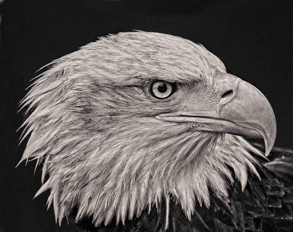 Eagle by sweetpea62
