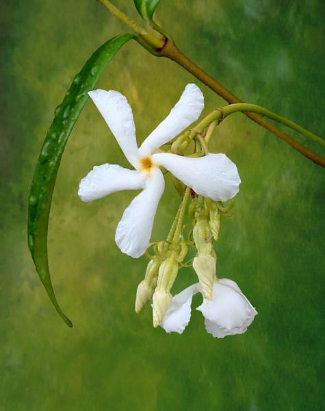 Jasmine by seven21