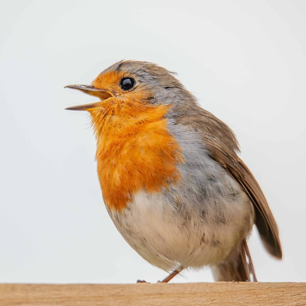 One legged robin by ghosts
