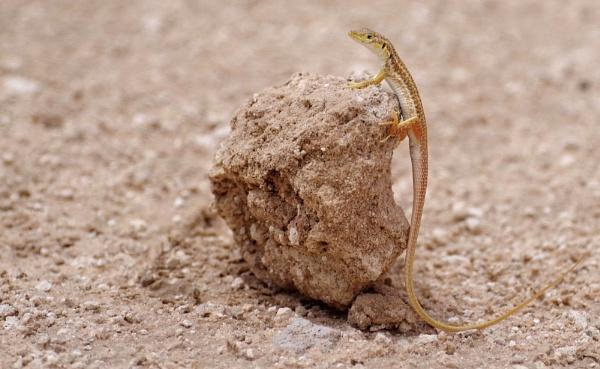shovel snouted lizard by joeblade