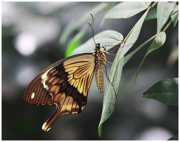 A Mocker Swallowtail (Papilio dardanus)  (best viewed large) by gconant