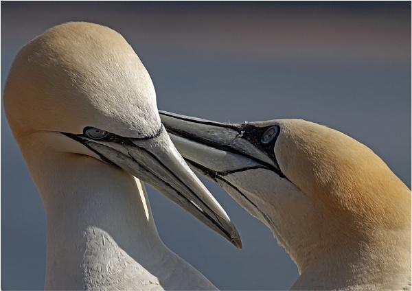 Bonding pair of Gannets by hibbz