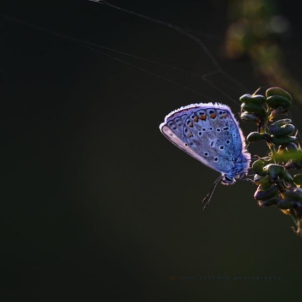 common blue by senn
