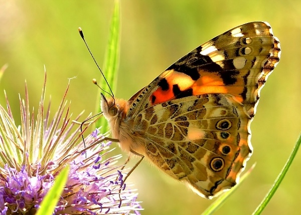 A painted lady. by georgiepoolie