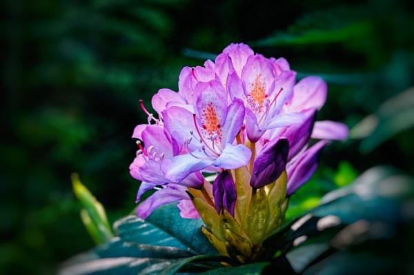 Pink Azaleea by akh
