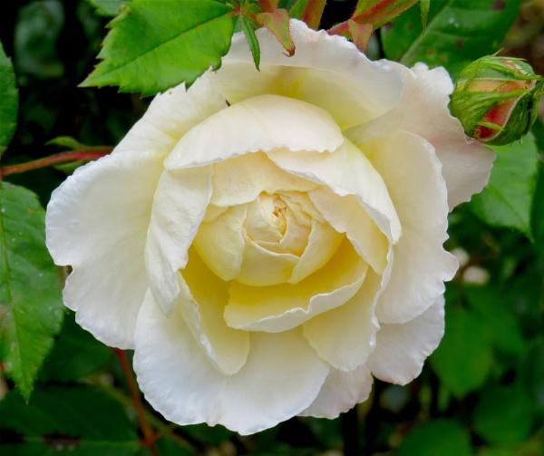 Blooming white! by ddolfelin