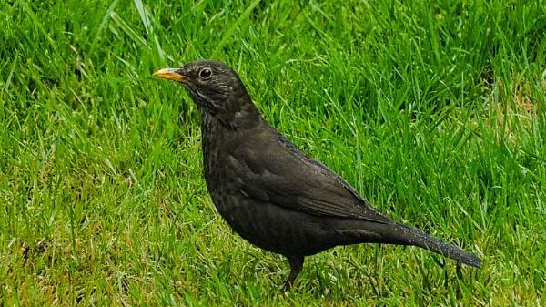 FEMALE BLACKBIRD. by kojack