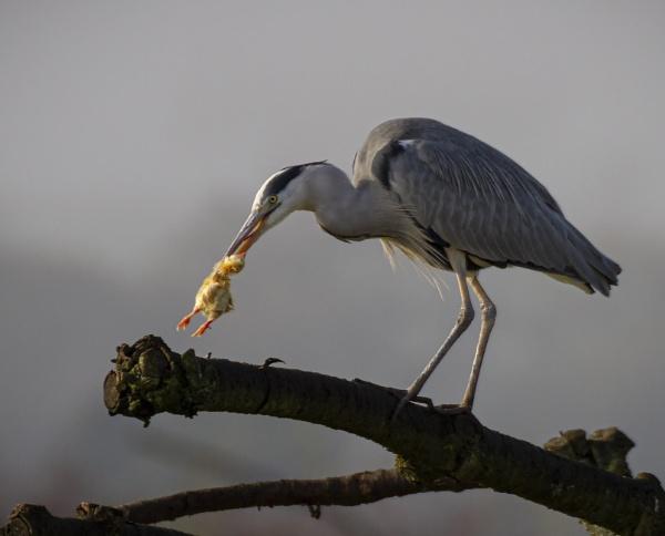 Grey Heron by tralfamadorean